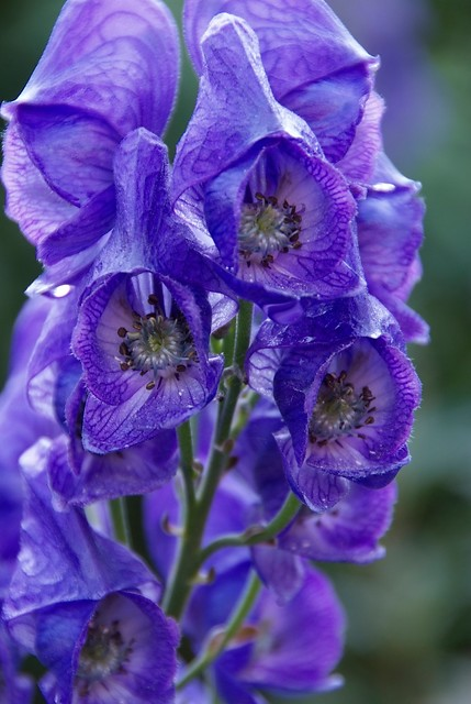 aconitum-carmichaelii-barkers-variety