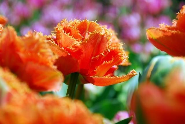 orangebloem - kopie