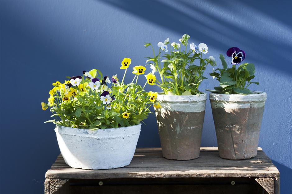 Tuinplant van de Maand oktober: Viooltje 04